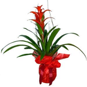 planta-guzmania