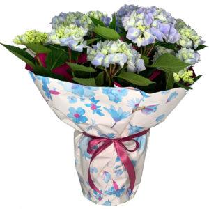 planta-hortensia-azul-01