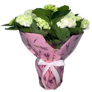 planta-hortensia-blanca