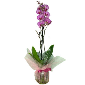 planta-orquidea-purple-01
