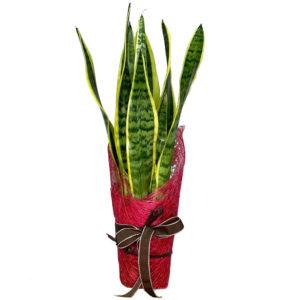planta-sansevieria